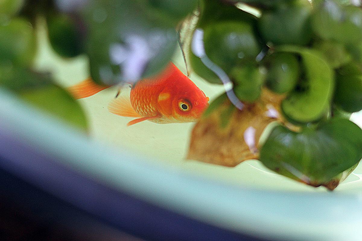 飼い始めてすぐに金魚が死んでしまうわけが分かった。